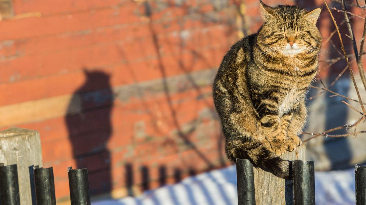 Коты соловецкие