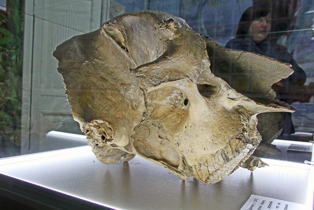 Часть черепа мамонта