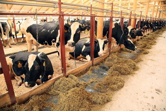 Молочно-товарная ферма на 240 голов в деревне Мелединской