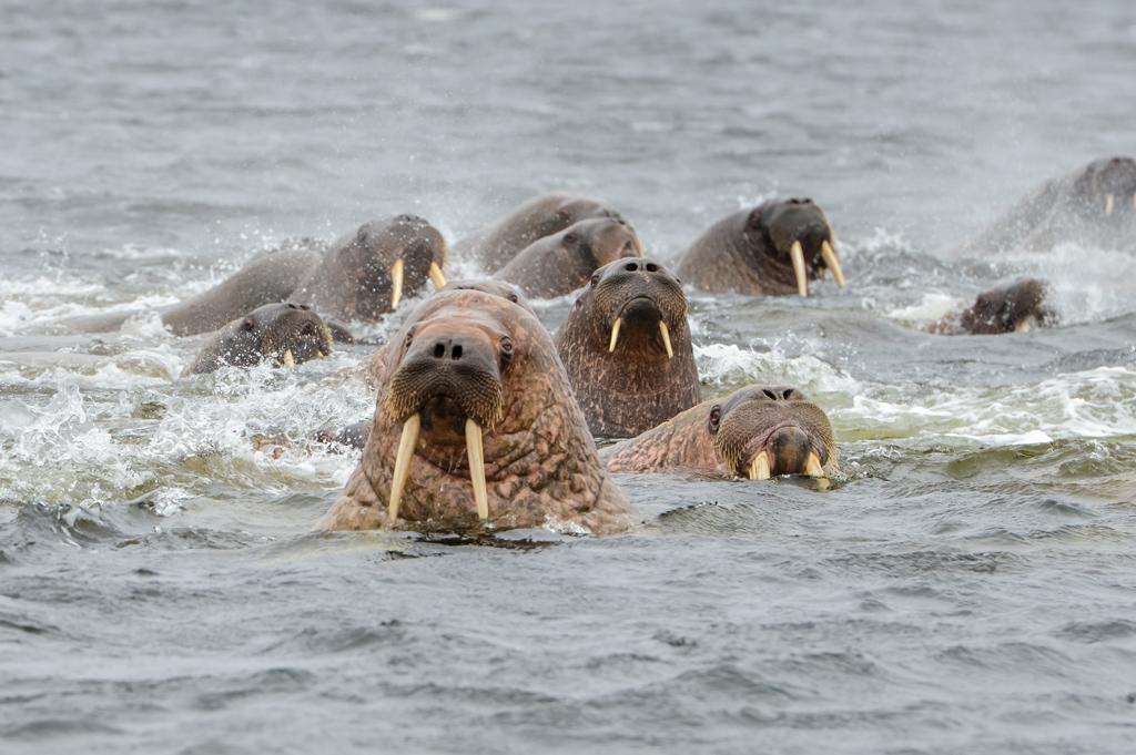 Краснокнижные атлантические моржи сделали Вайгач своим летним домом