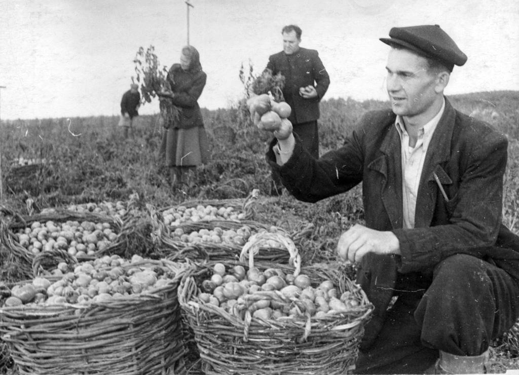 Агроном Ю. Баландин отбирает помидоры на семена. Колхоз «Путь к коммунизму» Холмогорского района. 1953 год