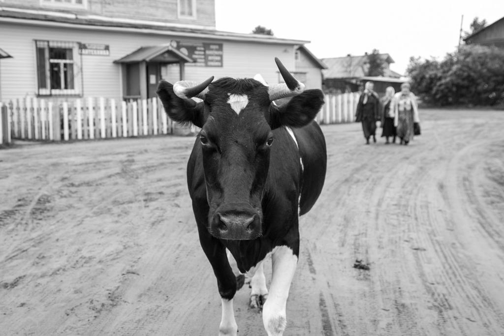 Переехал из столицы— завел свою корову