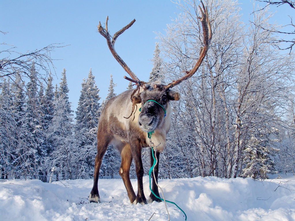 Арктика и северный олень неотделимы друг от друга