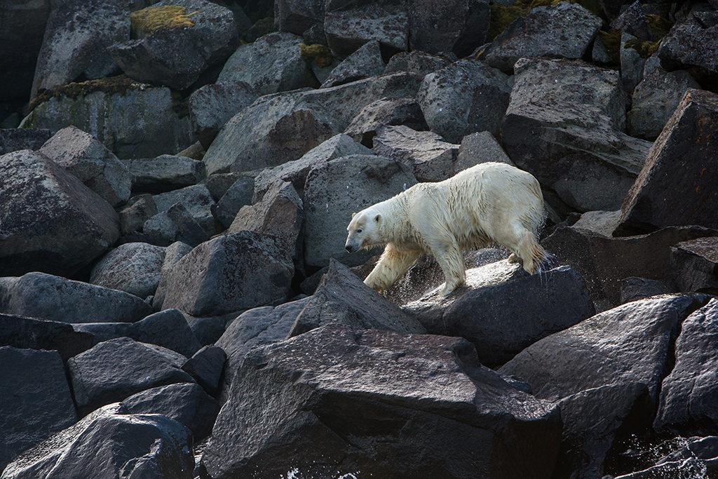 В 2016 году посмотреть на хозяина Арктики приезжали туристы из 40 стран мира