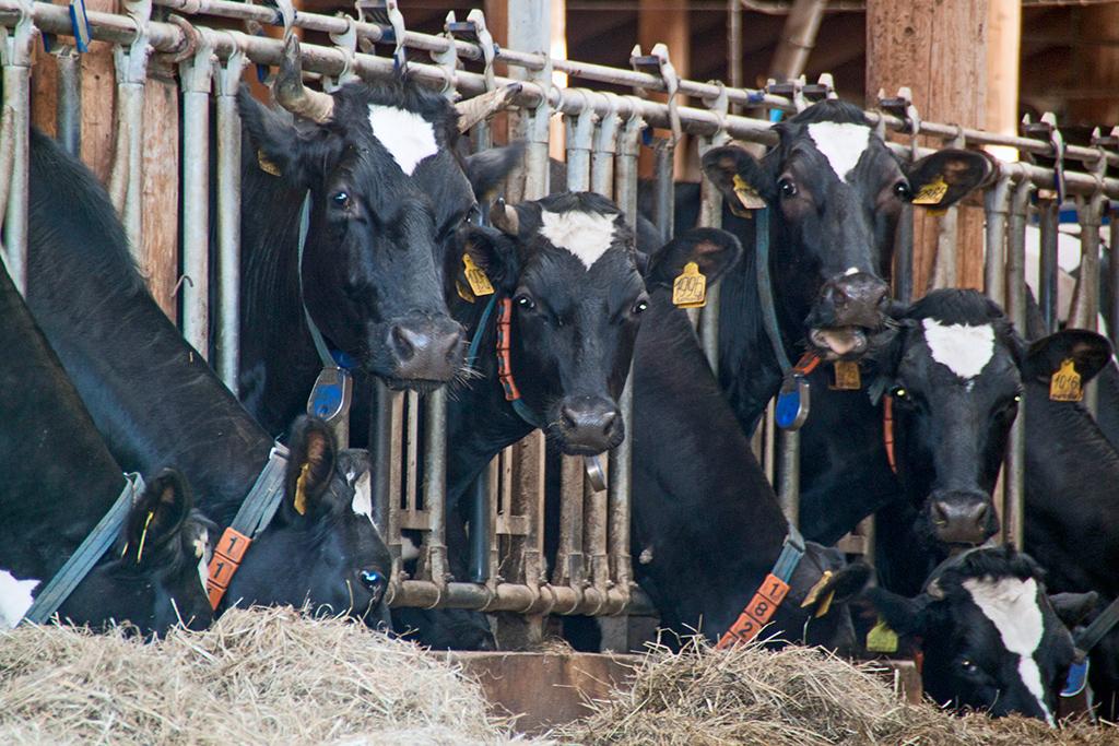 Голодными коров неоставишь